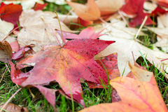 Fallen leaves of a maple. With some water drops Stock Image