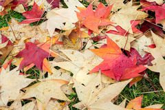 Fallen leaves of a maple Stock Photography