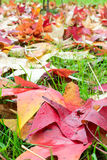 Fallen leaves of a maple. With some water drops Royalty Free Stock Photos