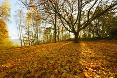 Fallen leaves maple. Fallen leaves of maple sun-lit in the month of October. Czech Republic royalty free stock photos