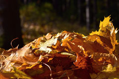 Fallen leaves of the maple tree in the forest in sunlight. Stock Images