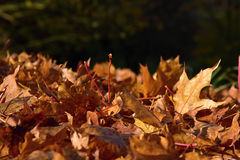 Fallen leaves from a maple tree in sunlight. Royalty Free Stock Images