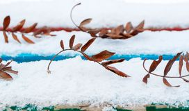 Fallen leaves of mountain ash on a snow bench, blue and red lines of boards in winter royalty free stock image