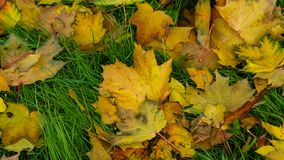 Fallen leaves of Norway Maple or Acer platanoides in autumn texture background, selective focus, shallow DOF.  stock photo