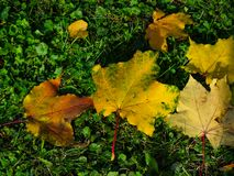Fallen leaves of Norway Maple or Acer platanoides in autumn texture background, selective focus, shallow DOF.  royalty free stock photos