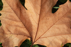 The fallen leaves of oak, Quercus, of the family Fagaceae Royalty Free Stock Photography