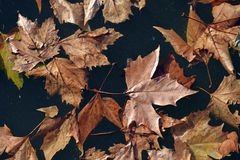 The fallen leaves of oak, Quercus, of the family Fagaceae royalty free stock photos