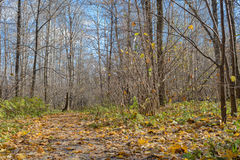 Fallen leaves on a path in the forest Royalty Free Stock Photography