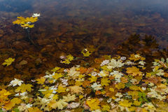 Fallen leaves on a pond Stock Image