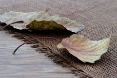 Fallen Leaves of Poplar Tree. Placed on a straw mat Stock Photos
