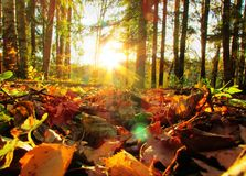 Fallen leaves in the rays of the setting sun royalty free stock photography