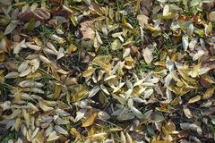 Fallen leaves of Sophora japonica and other trees. In the grass stock images