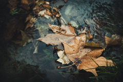 Fallen leaves in stream Royalty Free Stock Image