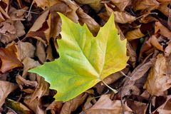 Single yellow-green plane tree leaf on dry leaves. Fallen leaves of a sycamore. A relatively fresh, yellow-green leaf on already dried leaves on the ground Royalty Free Stock Photos