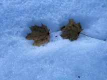 Fallen leaves. On top of melting snow Royalty Free Stock Images