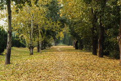 Fallen leaves. At the leaves of that tree& Ginkgo Tree Royalty Free Stock Images
