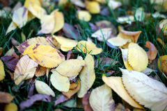 Fallen leaves from trees autumn leaves on green grass Royalty Free Stock Photos