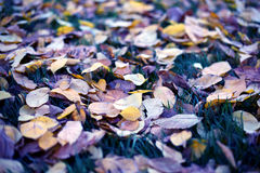 Fallen leaves from trees autumn leaves on green grass Stock Photos
