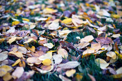 Fallen leaves from trees autumn leaves on green grass Stock Photography