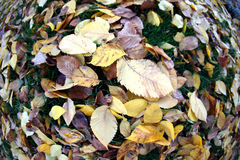 Fallen leaves from trees autumn leaves on green grass Royalty Free Stock Image