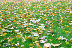 Fallen leaves from trees on the shorn grass Royalty Free Stock Image