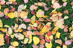 Fallen leaves from trees on the shorn green grass Stock Photo