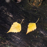 Fallen leaves. Two bright yellow leaves on a black background old wood Stock Photo