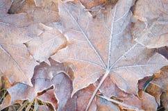 Fallen leaves under hoarfrost Royalty Free Stock Photo