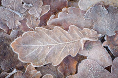 Fallen leaves under hoarfrost Stock Images
