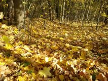 Fallen leaves underfoot in the autumn forest stock photography