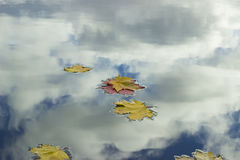 Fallen leaves. In the water, mirroring the sky Stock Photography