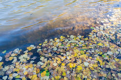 Fallen leaves in water in sunny autumn day Royalty Free Stock Image