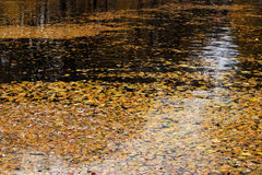 Fallen leaves on water surface Stock Photos