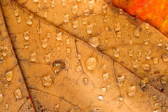 Fallen Leaves Wet Dew  Water Droplets Autumn Royalty Free Stock Images