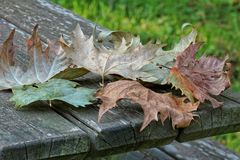 Fallen leaves on a wooden picnic table Royalty Free Stock Image