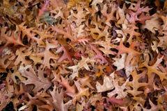 fallen leavesoak Royaltyfria Foton