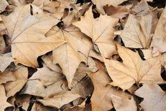 fallen leavesphoenix tree Royaltyfria Bilder