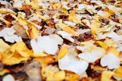 Fallen linden leaves Stock Photos