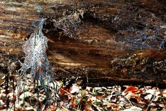 Fallen log detail. Close up detail of a fallen tree showing the texture of the rotting wood and a lace like fungus Royalty Free Stock Images