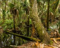 Path Into the Florida Swamp. A fallen log over a stream in a Florida swamp over which one may cross into a natural fern garden and thick vegetation royalty free stock images