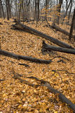 Fallen logs in autumn forest. Stock Photo