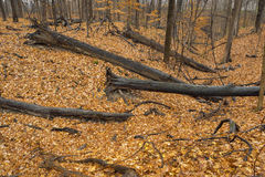 Fallen logs in autumn forest. Stock Images