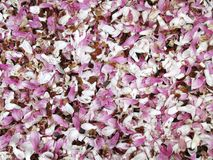 Fallen Magnolia Blossoms Background Royalty Free Stock Photography