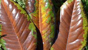 Fallen Magnolia leaves Royalty Free Stock Images
