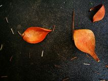 Fallen magnolia pedal lying on wet ground Royalty Free Stock Image