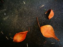 Fallen magnolia pedal lying on wet ground Stock Photography