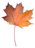 Fallen Maple Leaf Royalty Free Stock Photos