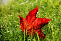 Fallen maple leaf in Autumn. A maple leaf on grass with the sun reflecting through it Stock Photos