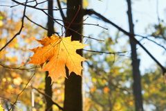 Fallen maple leaf on branch in autumn Royalty Free Stock Photography