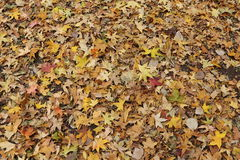 Fallen Maple Leaf Royalty Free Stock Photography